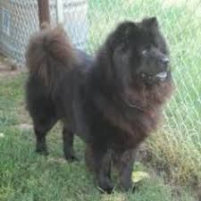 Image Result For Samoyed Mix Chow Chow Dogs Unique Dog Breeds