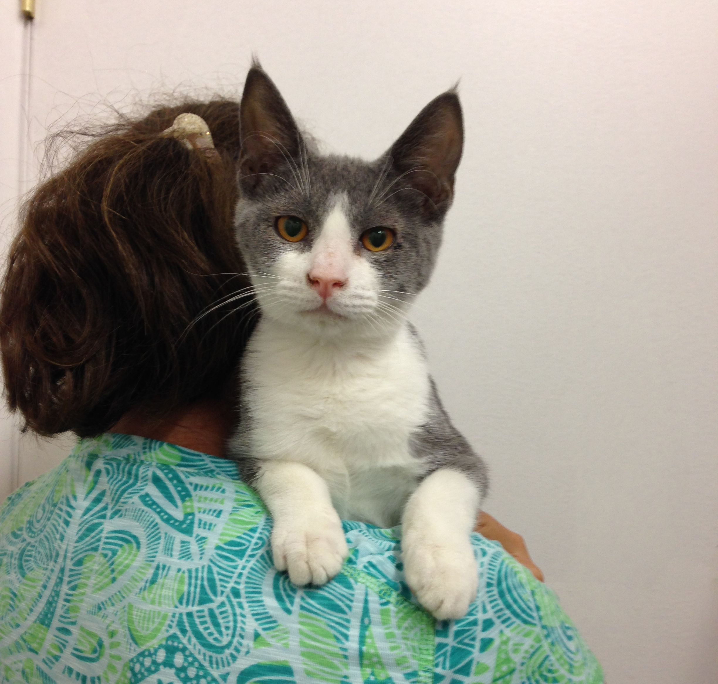 Levi Is A 5 Month Old Male Kitten This Dark Gray And White Male Cat Likes People And Is Good With Older Kids And Friend Animal Welfare League Dog Friends Pets