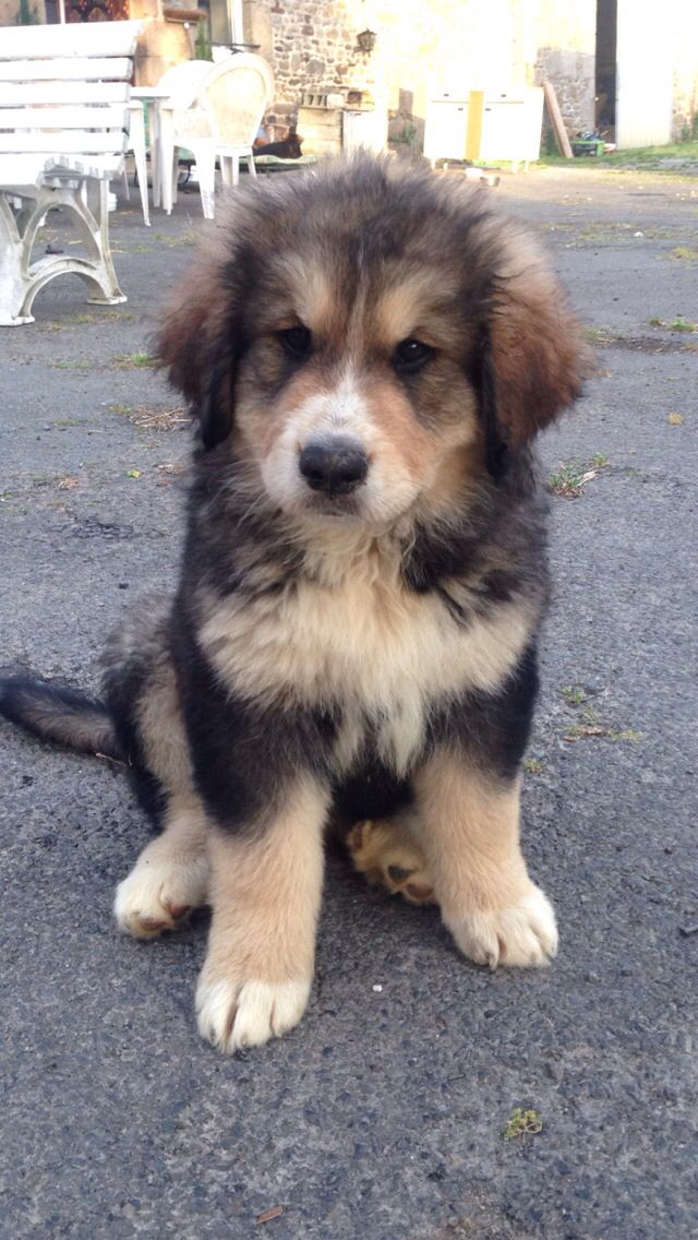 When She Was Nearly 3 Months Old Malamute Cross Bernese