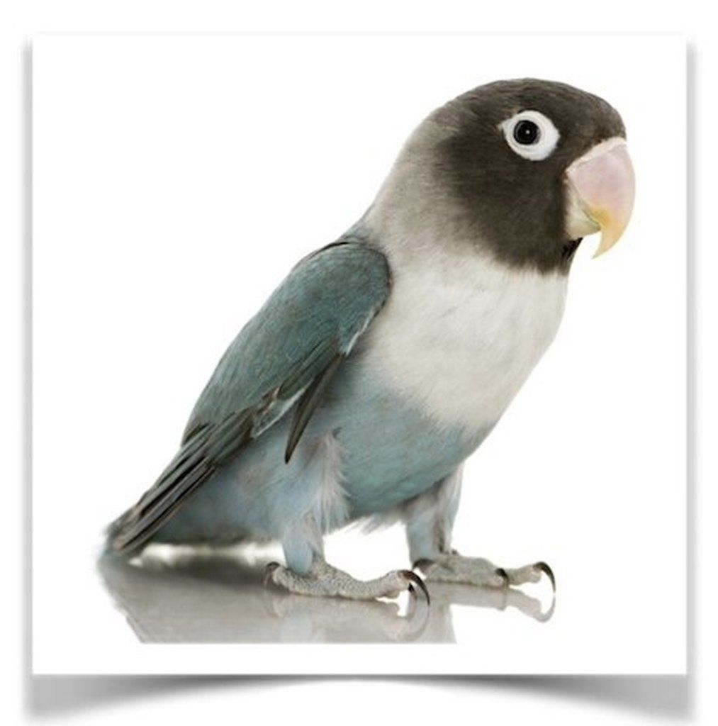 Lovebirds Blue Masked In 2020 Birds For Sale Love Birds Pet Birds