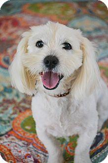 Hagerstown Md Lhasa Apso Westie West Highland White Terrier