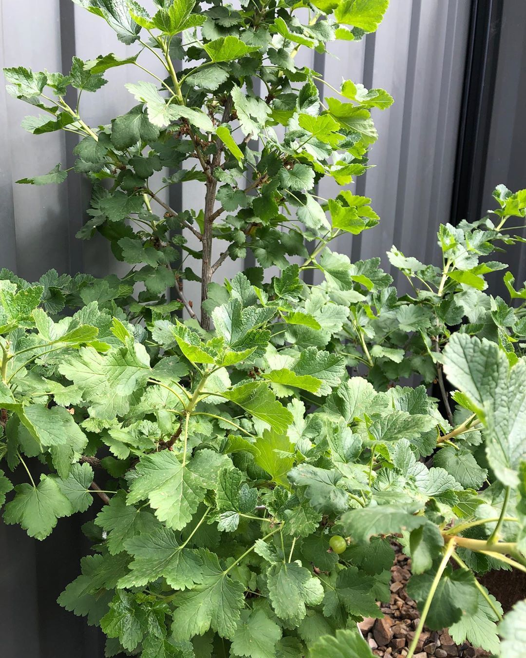 See if you can spot the Jostaberry. It literally only grew one berry   #SmallSpa... #containergardening #gardening #gardeningaustralia #Jostaberry #MelbourneGarden #organicgardening #plants