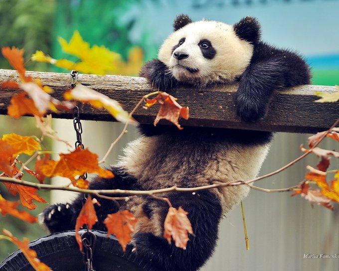 28 Svetlana Svetlana1873 Twitter Panda Bear Cute Animals Panda Wallpapers