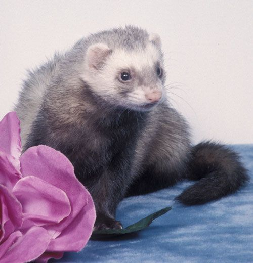 Five Things To Know For Child And Ferret Safety Best Small Pets