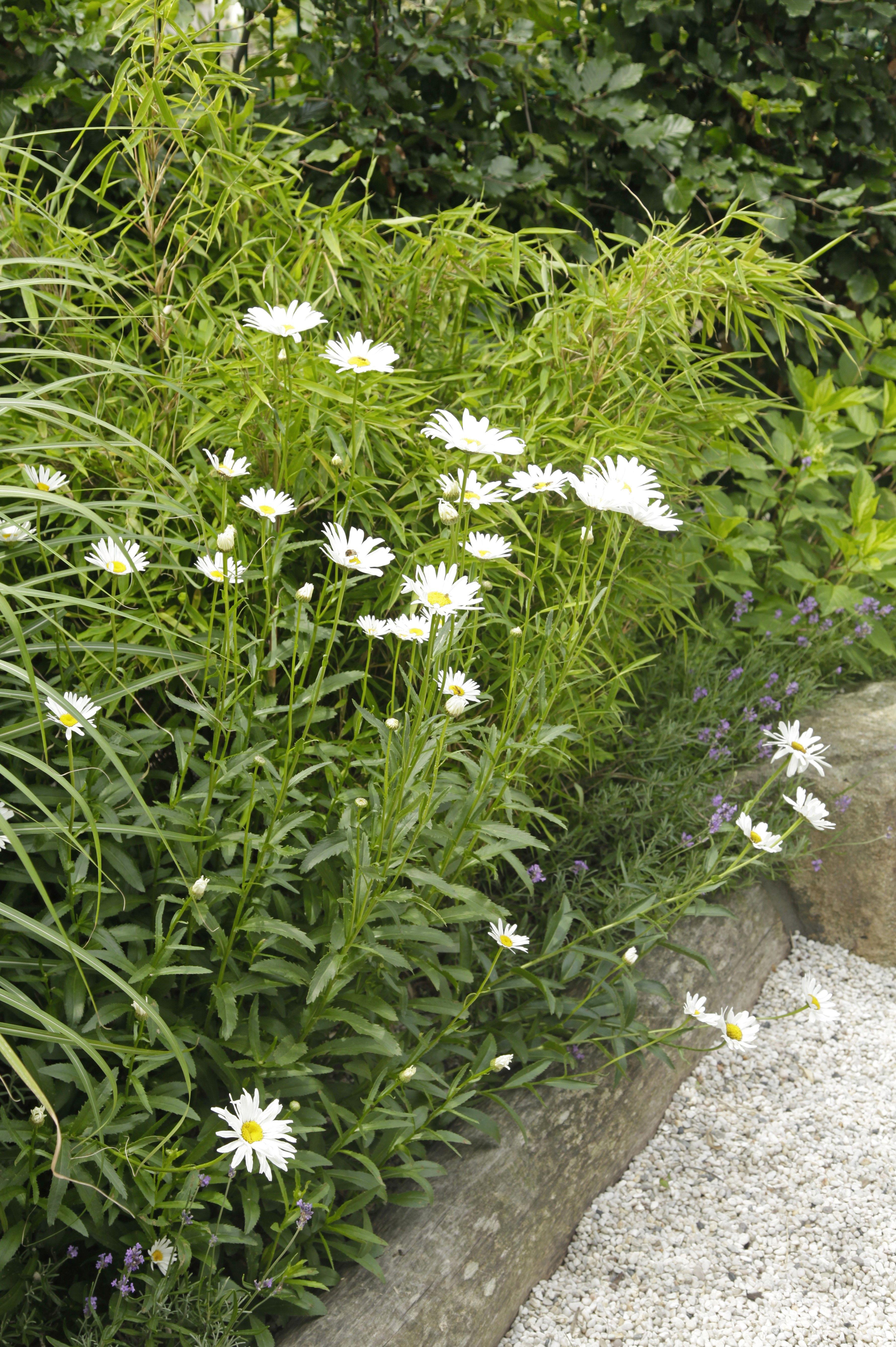 Die weiße Staudenmargerite Leucanthemun in Kombination mit