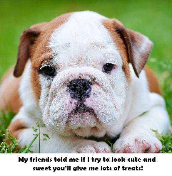 My Cuteness Goes A Long Way The Smokey Dog Co English Bulldog