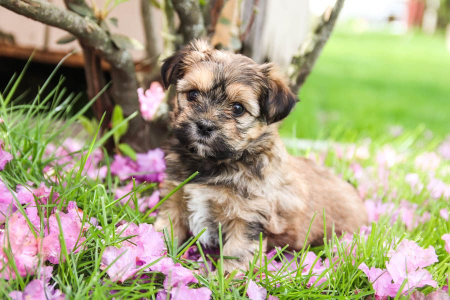 Shorkie Cute Puppy Pictures Cuddly Animals Cute Animals