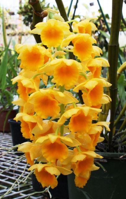 Dendrobium Densiflorum Wow This Is An Amazing Flower I Would Never Have Guessed It Was An Orchid Melhores Flores Fotos De Jardins De Flores Flores Bonitas