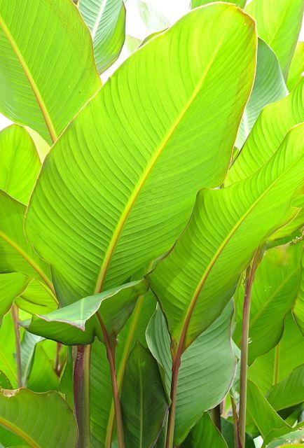 Canna 'musafolia' or 'grande' -- big red-tinged leaves