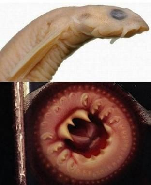 19 Creepy Facts About Parasites...The vampire fish...can swim up a urine stream into the human victims penis, which it shoots out its sharp spine & lodges itself in. Once inside the body, the vampire fish feeds on a human's blood. Only a very invasive & painful surgery can remove it.