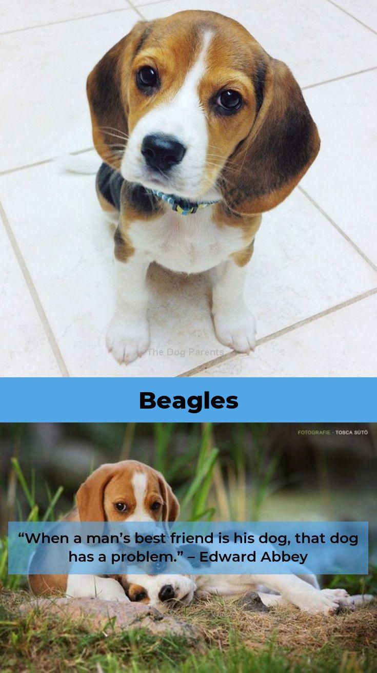 Beagle Puppies Beaglebaby Beagles Tips Beagle Beagle Puppy