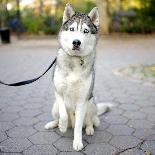 Taco Siberian Husky 4 Y O Riverside Park New York Ny Cute