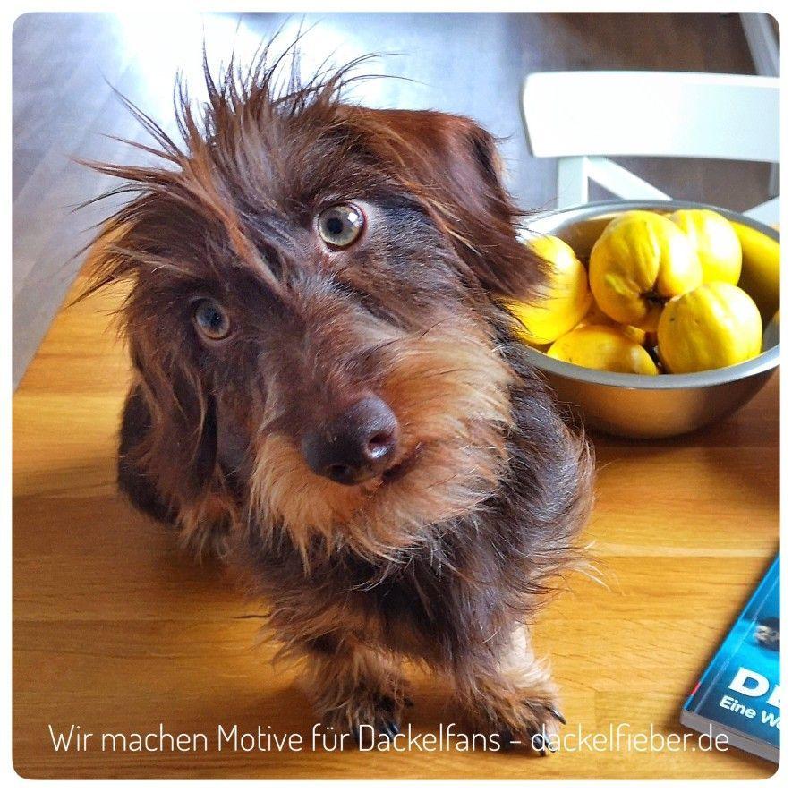 Dachshund Wire Haired Dachshund Dachshund Miniature Dog Breeds