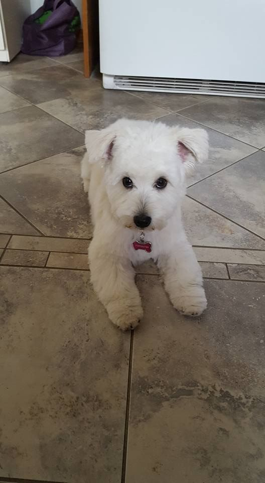 Abby Trent Hills Ontario Canada Sweet Dogs Pets White Terrier