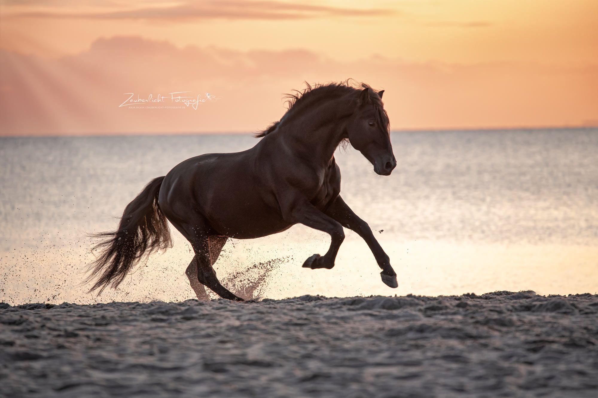 Pferd galopiert im Sonnenaufgang am Strand