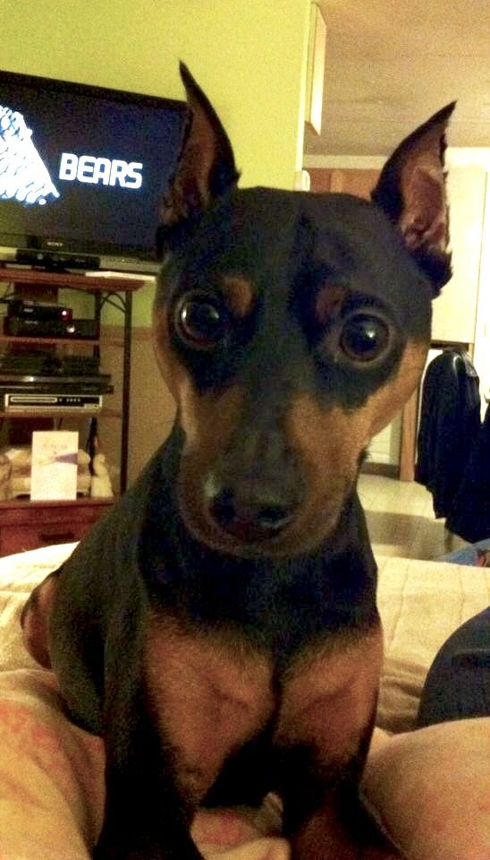 This Is My Baby S Did You Say Food Face Dachshund Mix Dog