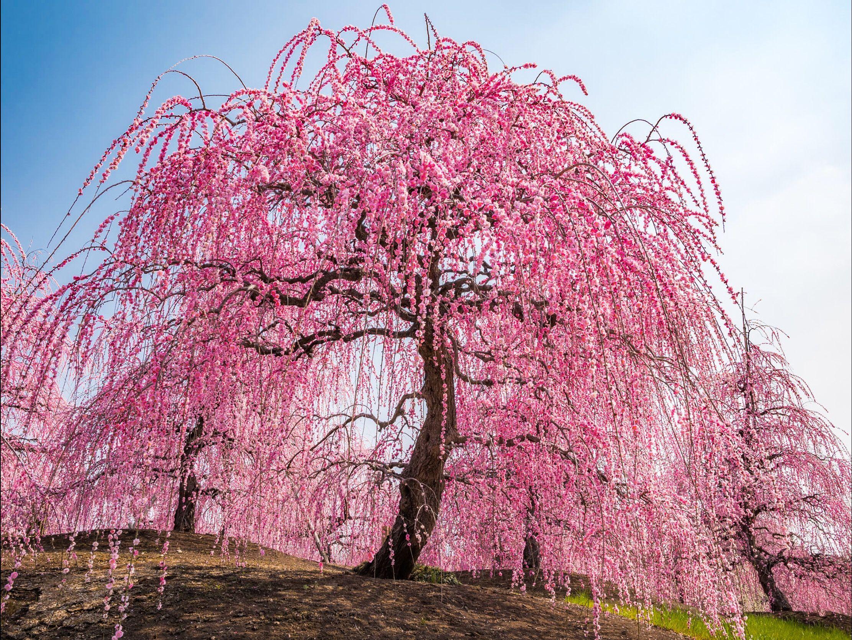 Weeping Cherry Tree In Full Bloom Japan By Ryusuke Komori On 500px Flowering Trees Weeping Cherry Tree Cherry Tree Tattoos
