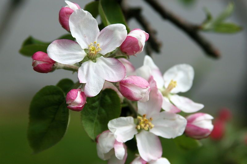 Michigan State Flower The Apple Blossom Proflowers Blog Apple Blossom Flower Apple Blossom Cherry Blossom Art