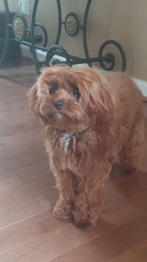 Star Is A Full Grown Toy Cavapoo 8lbs Of Sweetness I M Going To
