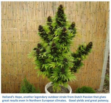 Outdoor Marijuana Strain Guide - bigbudsmag.com