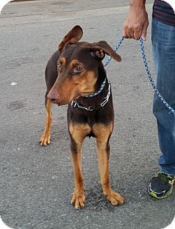Pin By A E P On Help The Dogs Doberman Pinscher Doberman Puppies