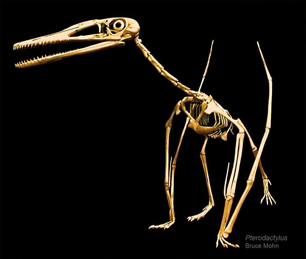 Http Brantworks Com Resources Skelmakers Bruce Mohn Pterodactylus Skeleton Bruce Mohn 1000 Jpg Prehistoric Animals Prehistoric Creatures Extinct Animals