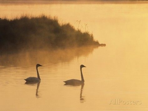 Two Adult Trumpeter Swans (cvanus Buccinator) in Morning Light at the Mouth of Junction Creek, Wald Photographic Print by Don Johnston at AllPosters.com