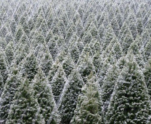 Helvetia Christmas Tree Farms, Inc. Hillsboro Oregon - Can't wait ...