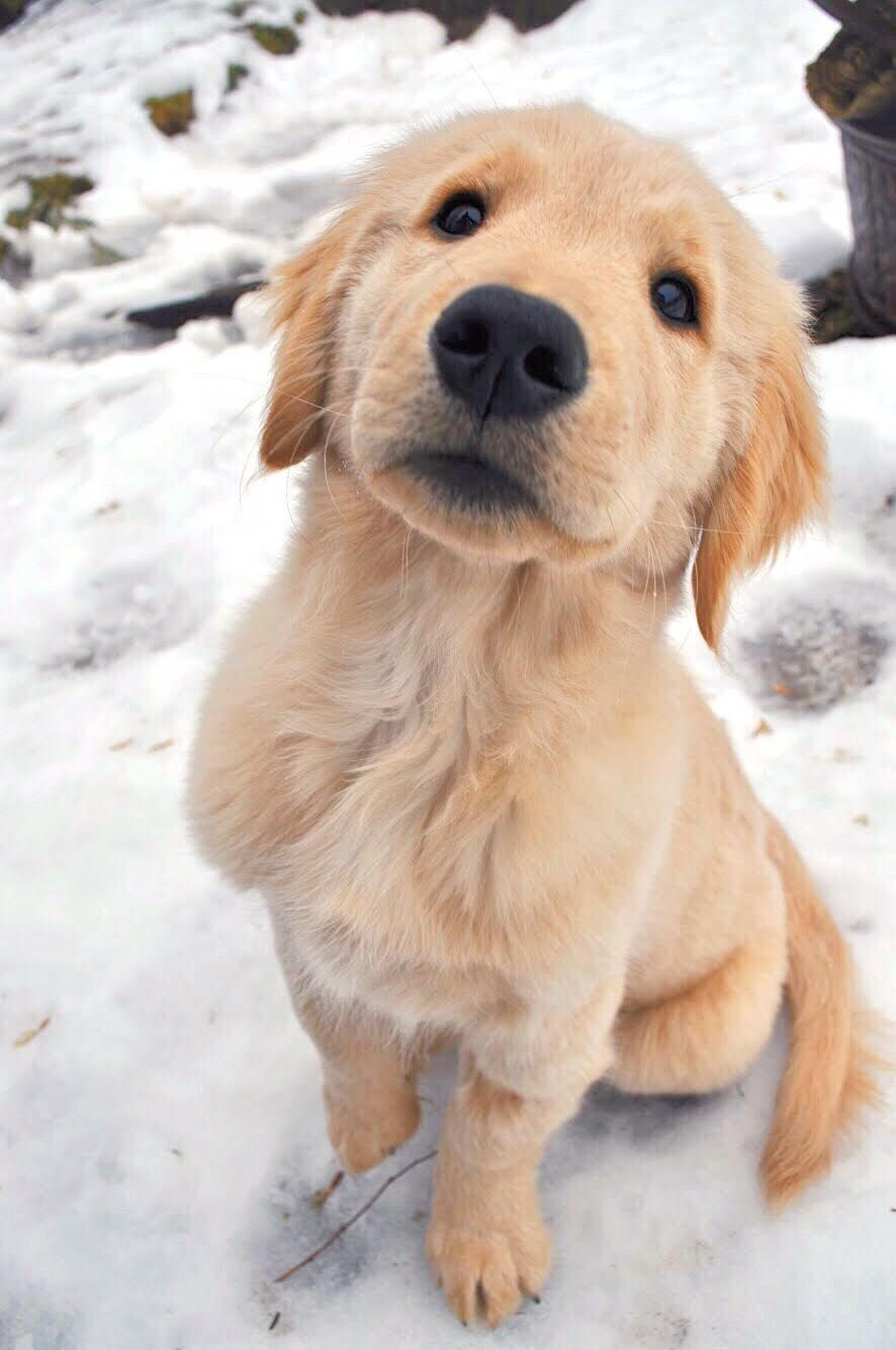 Looks Like Small Bear Golden Retriever Dog With Images