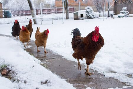 What Not to Do with Your Chickens in Winter in 2020 ...