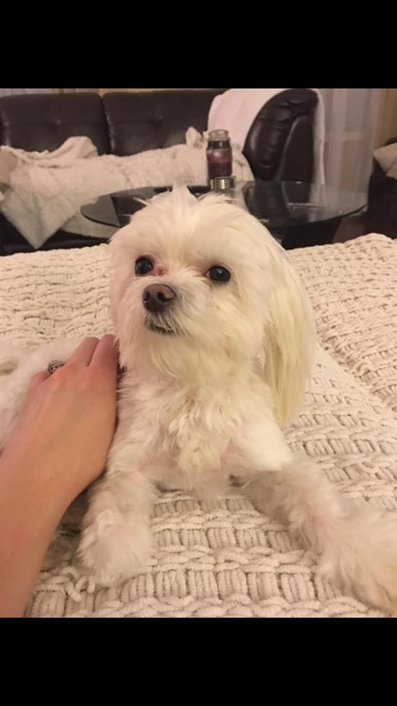 Found Dog Maltese Flowery Branch Ga United States 30542 On March 09 2016 20 00 Pm Dogs Save Animals Dogs And Puppies