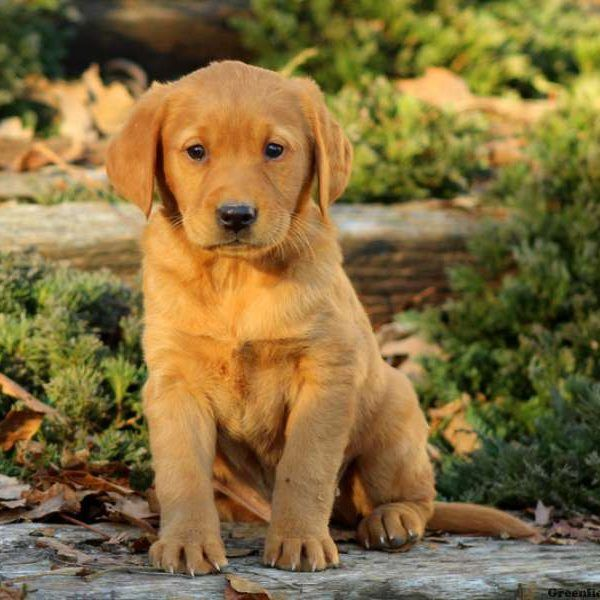 View Explore All Dog Breeds Greenfield Puppies Golden Labrador Puppies Labrador Puppies For Sale Labrador Puppy