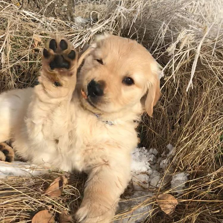 High Five Goldenretreivers Petphotography Saskatchewan