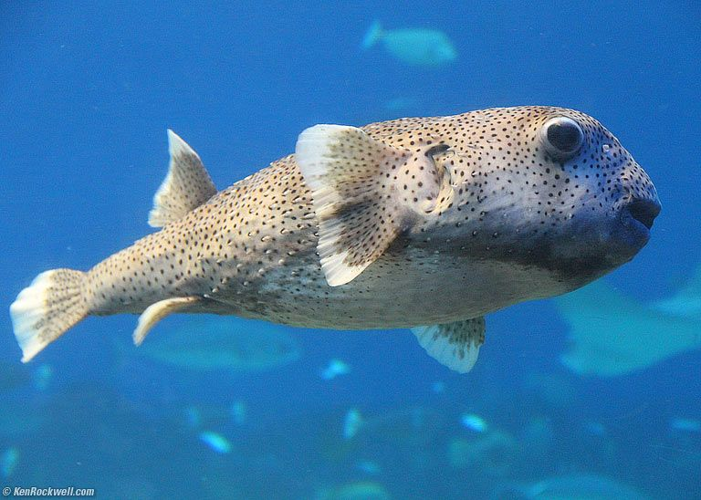 The puffer fish 3 12 pm ken rockwell pinterest animal for Giant puffer fish