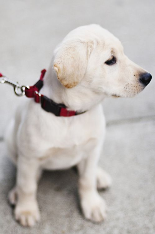 Aww Little White Lab Cuteness Dogs Puppies And Kitties Baby Dogs