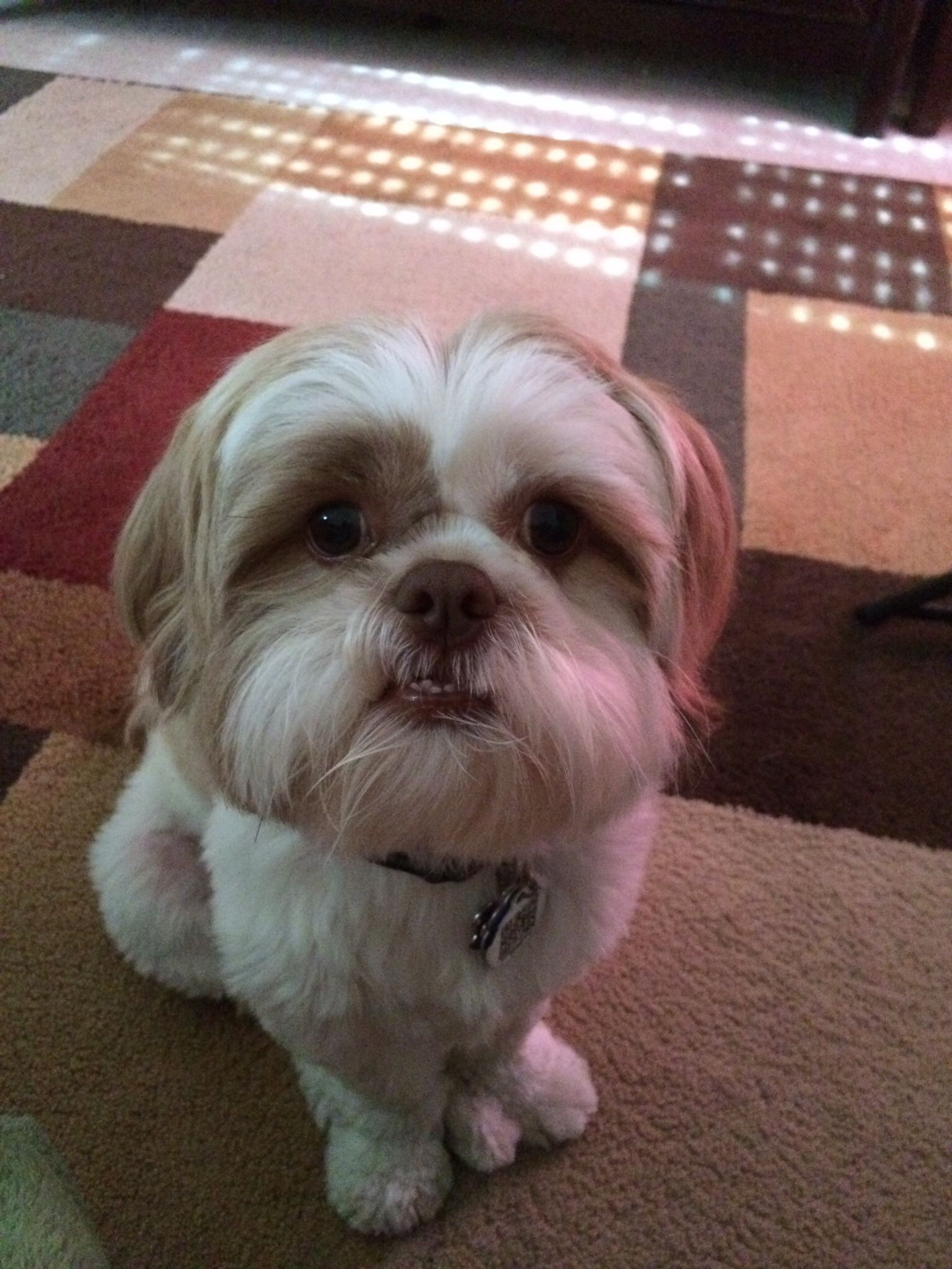 This Is My Begging Face For Apples Shih Tzu Love Shih Tzu Dog