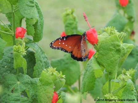 Viceroy butterfly on Turk's Cap