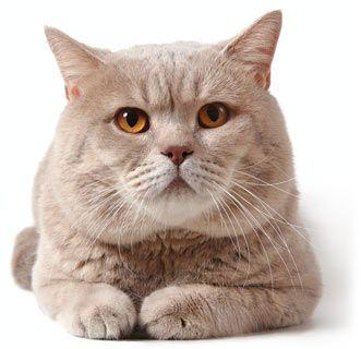 Top 10 Most Popular Cat Breeds Cathealth Com Popular Cat Breeds Most Popular Cat Breeds British Shorthair Cats