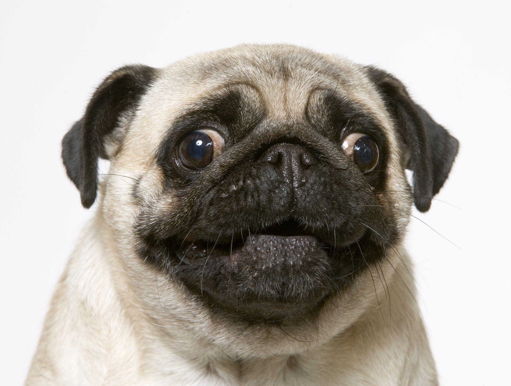 Le Chien Carlin With Images Cute Pugs Cutest Pug Ever Pugs