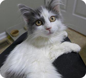 Westampton Nj Domestic Longhair Meet Bella 33842833 A Kitten For Adoption Kitten Adoption Pet Adoption Pets
