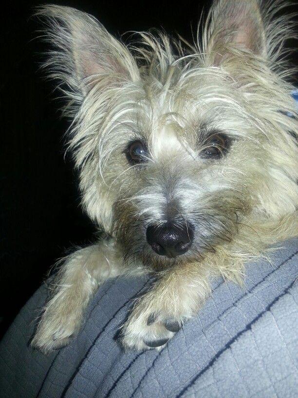 Hazel Relaxing Cairn Terrier I Love Dogs