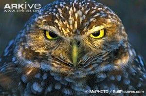 Burrowing-owl-portrait