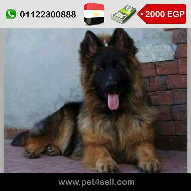 مصر القاهرة جيرمن شيبرد لونج هير وش ماسك كفوف عريضة شو لاين عمر 60 يوم جميع التطعيمات Pet4sell Dog Lovers I Love Dogs Dogs