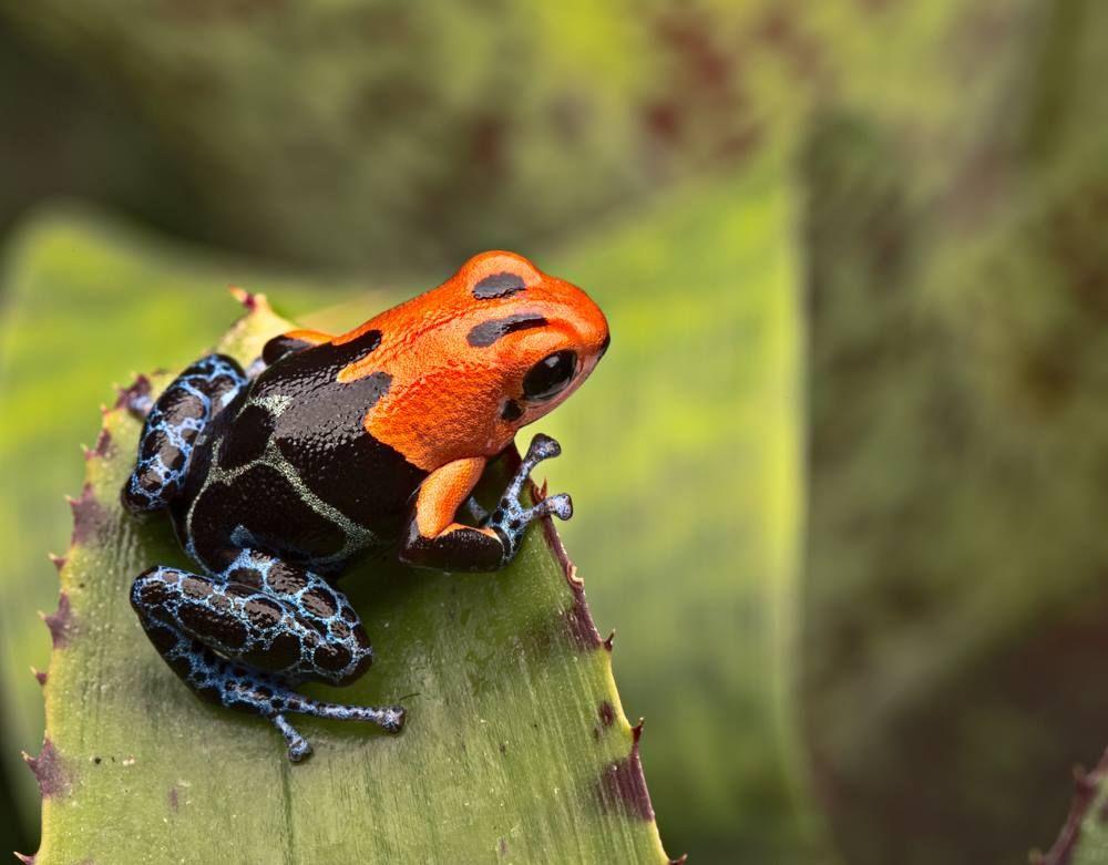 ranitomeya fantasticus varadero frogs blue poison dart