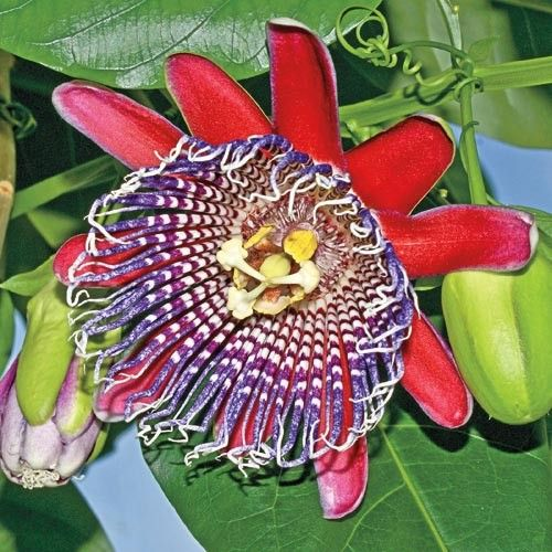 Giant Red Passion Flower Other Vines Flowering Vines Passion Flower Plant Passion Flower Flowering Vines