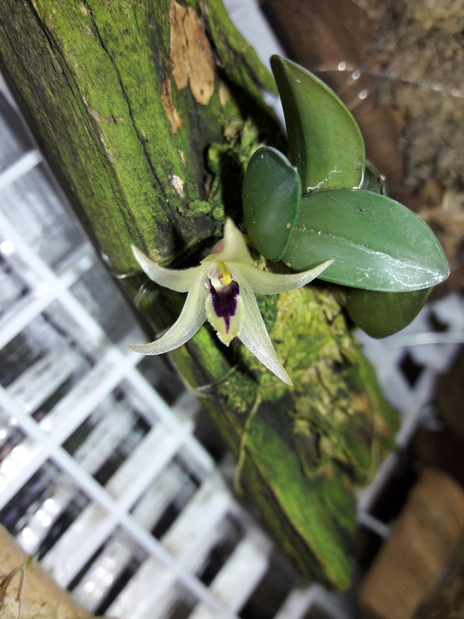 Octomeria estrellensis orchid species only pinterest