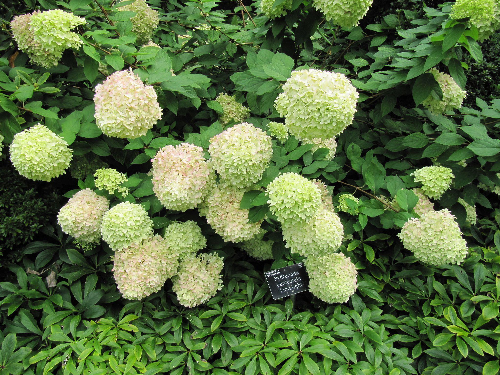 14 Beautiful Hydrangea Varieties Hydrangea Varieties Hydrangea Shrub Growing Hydrangeas