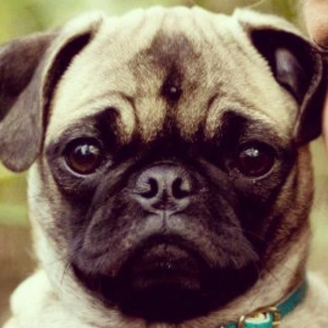 I Have The Best Looking Pug Ever Luna Pugs Animals Dogs