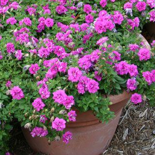 Surfinia Summer Double Rose Petunia Plants Petunia Plant