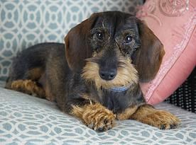 Willow Springs Farm In Greenville Ga Wire Haired Dachshund